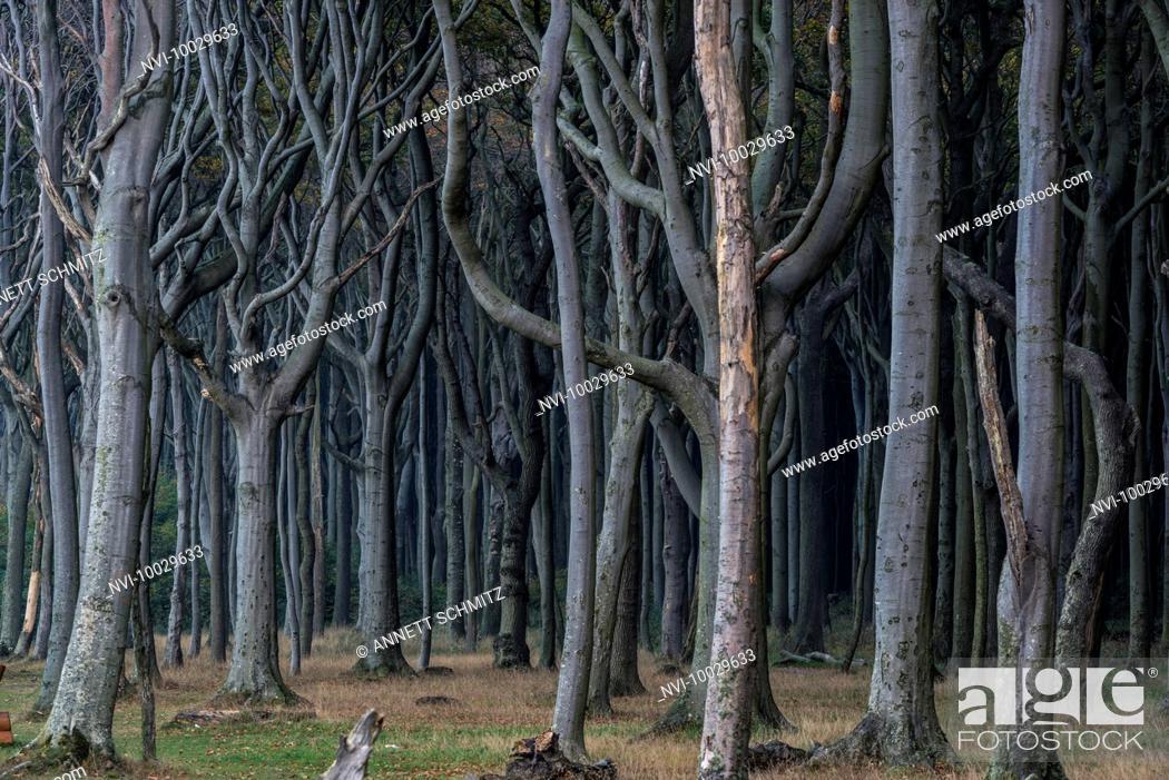 Stock Photo: Ghost Forest, Nienhagen, Mecklenburg-Western Pomerania, Germany.