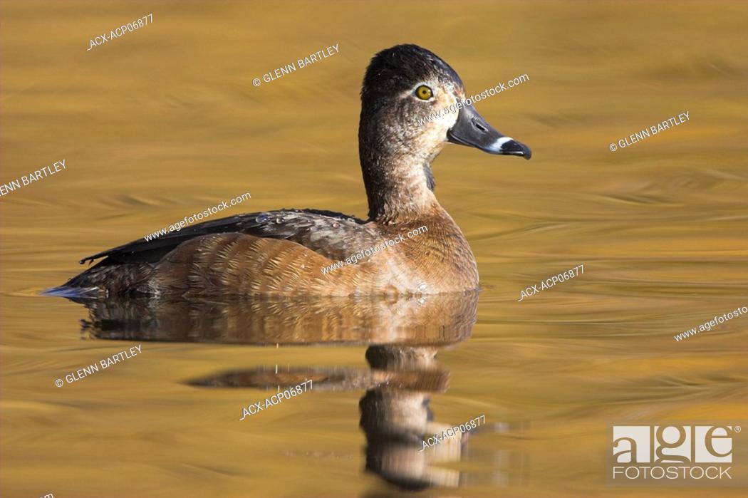 Stock Photo: Female Ring-necked Duck, British Columbia, Canada.