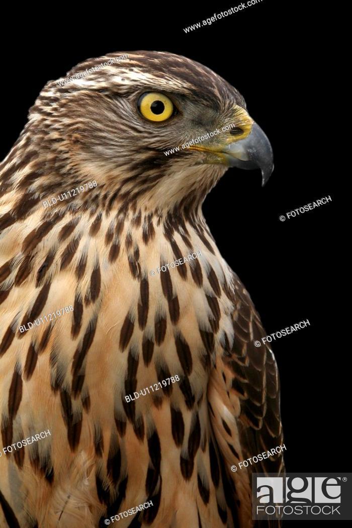 Stock Photo: Falcon.