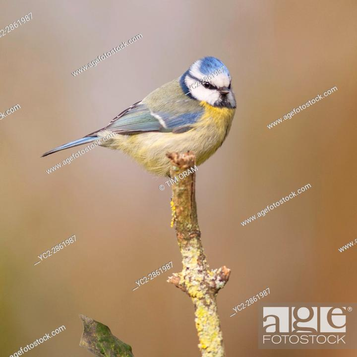 Stock Photo: Blue Tit (Parus caeruleus) in the Uk.