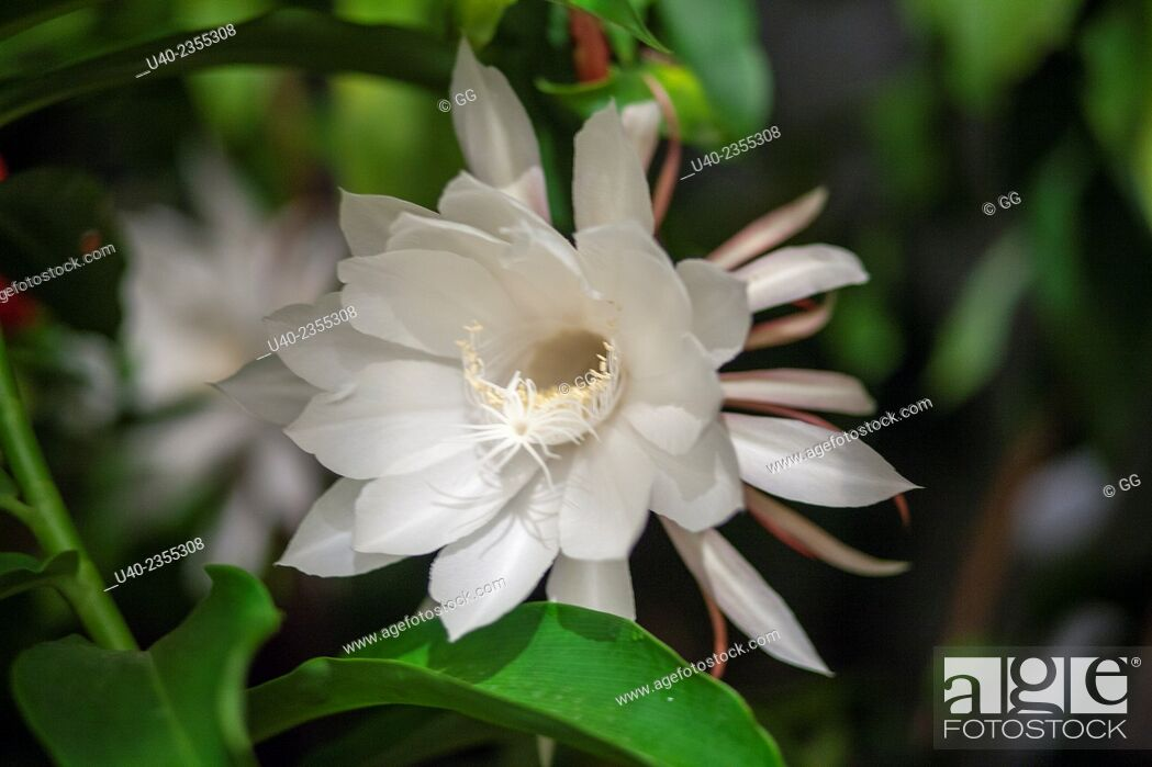 Stock Photo: Queen of the night flower.