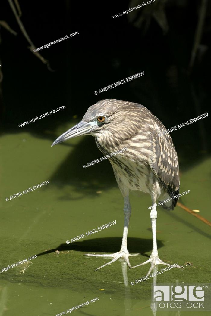 Stock Photo: Nycticorax nycticorax, Blach-crowned Night Heron. The juvenile has a brown head, neck, chest and belly streaked with buff and white.