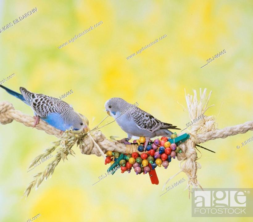 budgerigar, Stock Photo, Picture And Rights Managed Image