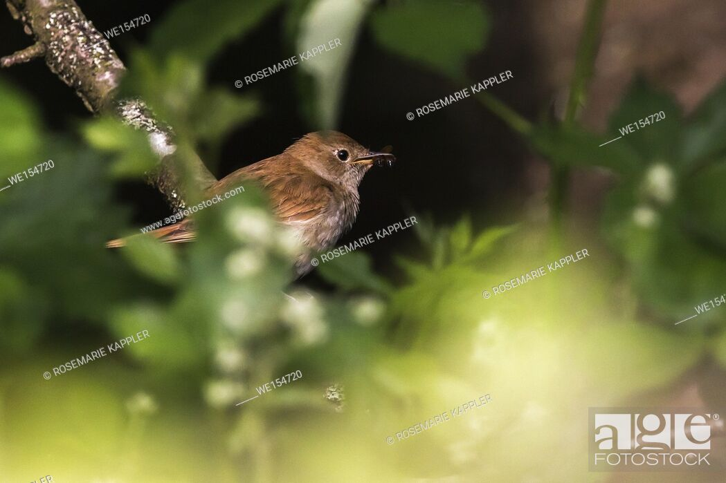 Stock Photo: Germany, Saarland, Bexbach - A nightingale is sitting on a branch.
