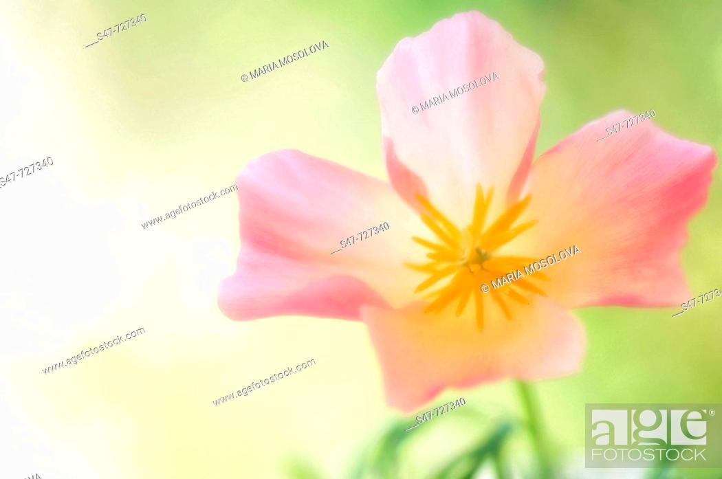 Stock Photo: Pink California Poppy Close-up. Eschscholzia californica.