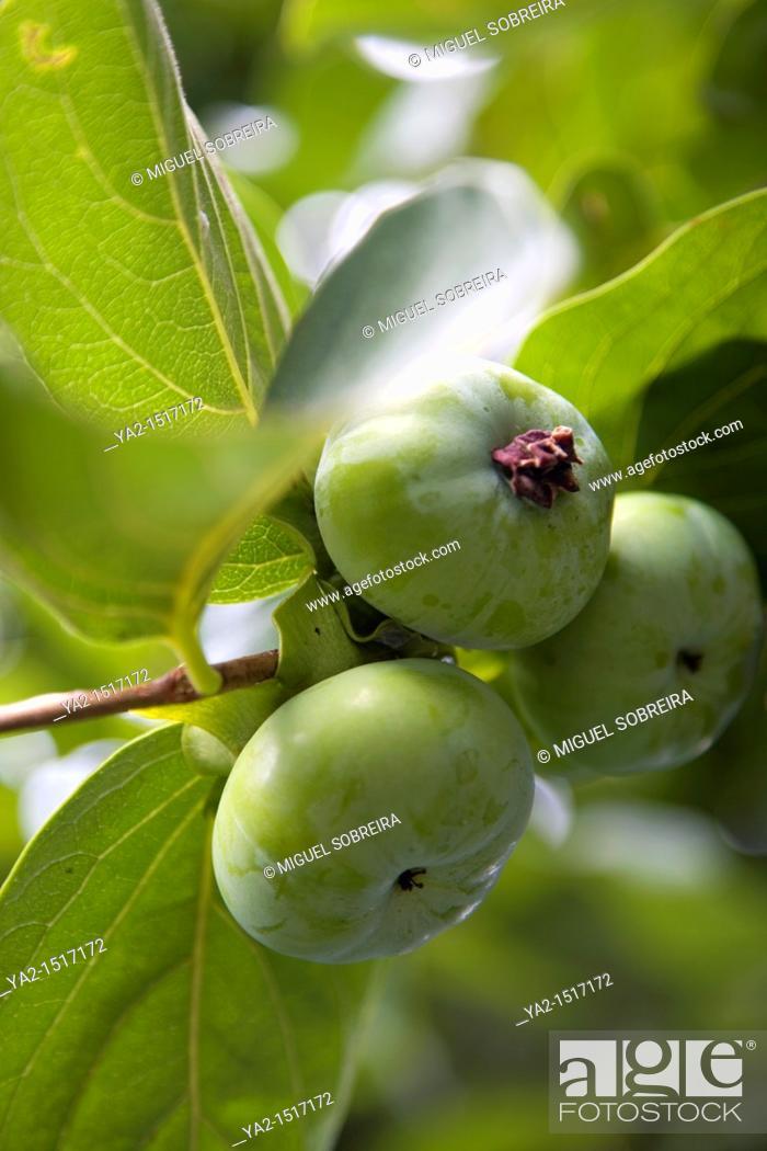 Stock Photo: Diospyros Kaki - Green persimmon on tree.
