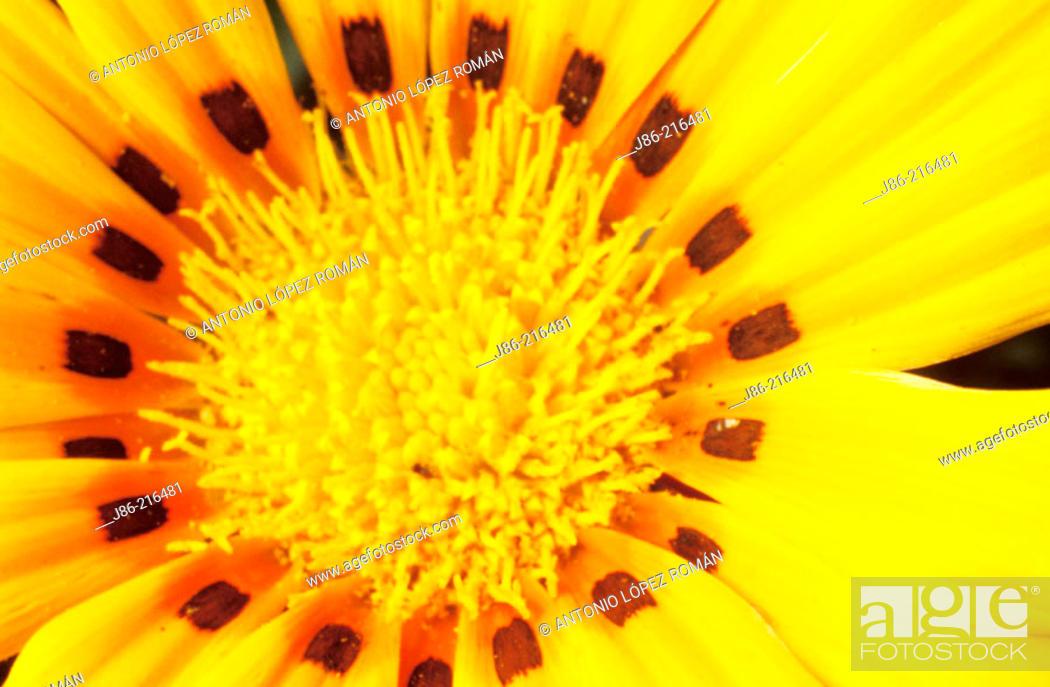 Stock Photo: Flower (Gazania sp.).