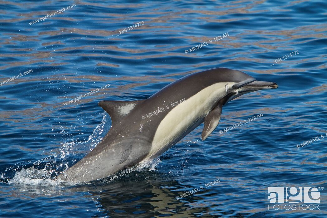 Stock Photo: Long-beaked common dolphin pod Delphinus capensis encountered off Isla del Carmen within the Parque Nacional Bahia de Loreto Loreto Bay National Park in the.