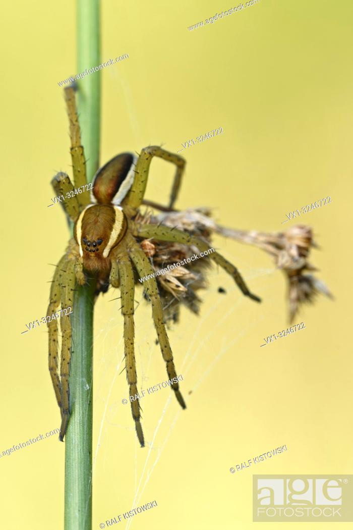 Stock Photo: Raft Spider / Gerandete Jagdspinne ( Dolomedes fimbriatus ) resting, hunting on a rush stem, clean background, detailed shot.