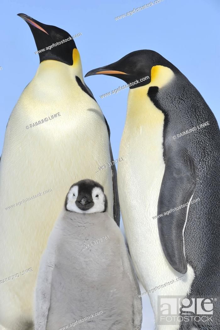 Stock Photo: Emperor penguins, Aptenodytes forsteri, Pair with Chick, Snow Hill Island, Antartic Peninsula, Antarctica.