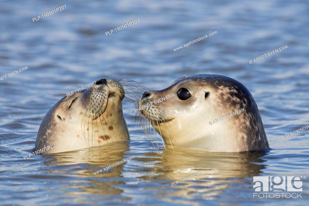 Imagen: Close up of two young common seals / harbour seals (Phoca vitulina) juveniles swimming in sea.