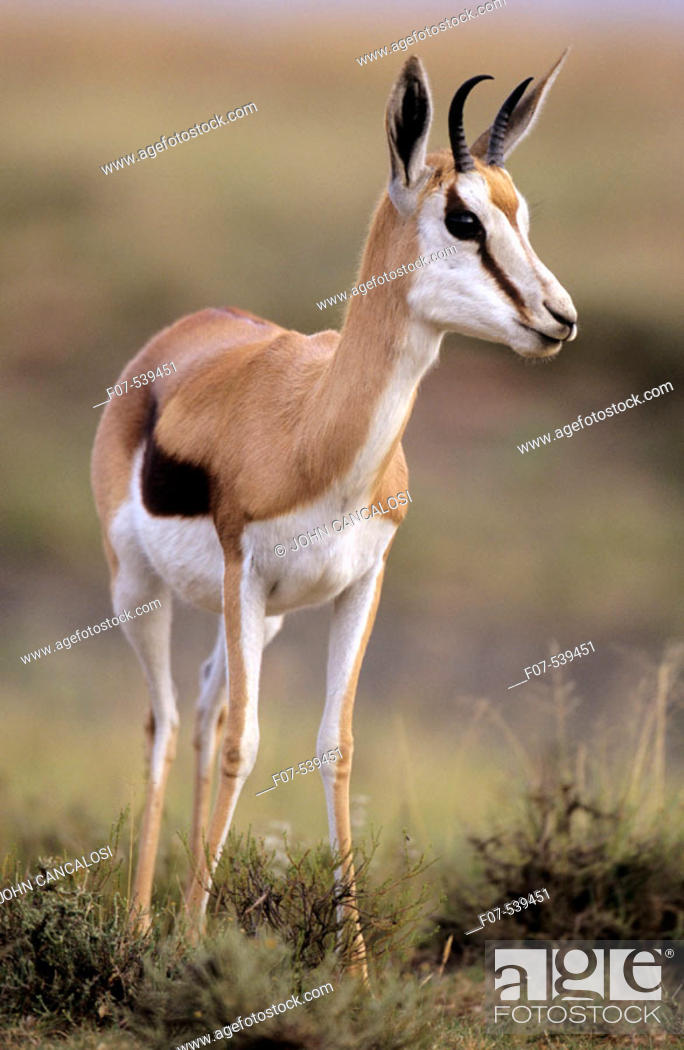 Imagen: Impala (Aepyceros melampus) - South Africa - Medium-size gazelle-like anteope - Distribution in south and southeastern Africa - Require high-quality fodder.