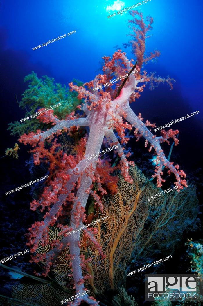 Stock Photo: Red Soft Coral, Dendronephthya sp., Sharm el Sheikh, Sinai, Red Sea, Egypt.