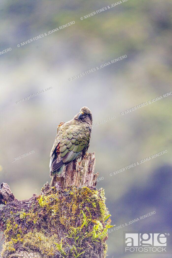 Imagen: Kea - Nestor notabilis -, South Island, New Zealand.