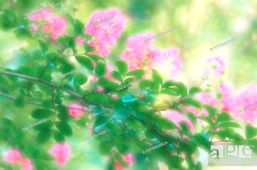 Stock Photo: Blossoming Crape Myrtle.