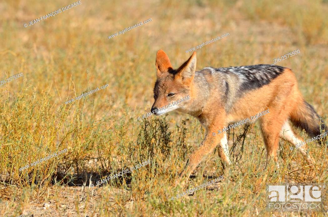 Stock Photo: Black-backed jackal (Canis mesomelas), walking in the morning light, Kgalagadi Transfrontier Park, Northern Cape, South Africa, Africa.