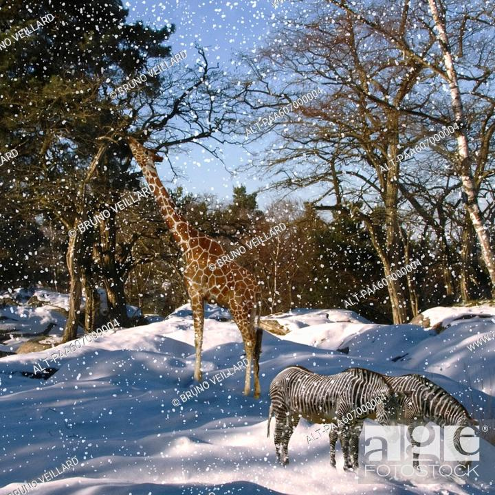 Stock Photo: Giraffe, zebra in snowstorm.