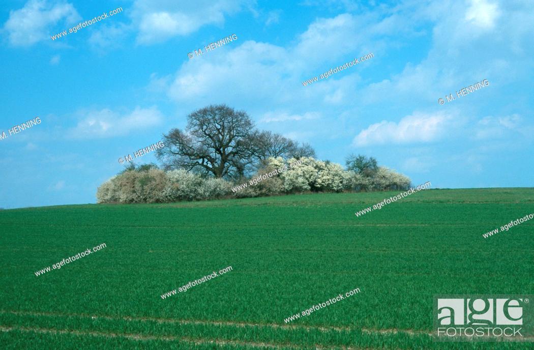 Stock Photo: blackthorn, sloe (Prunus spinosa), flowering blackthorn and oak, Germany, North Rhine-Westphalia, Luenen.