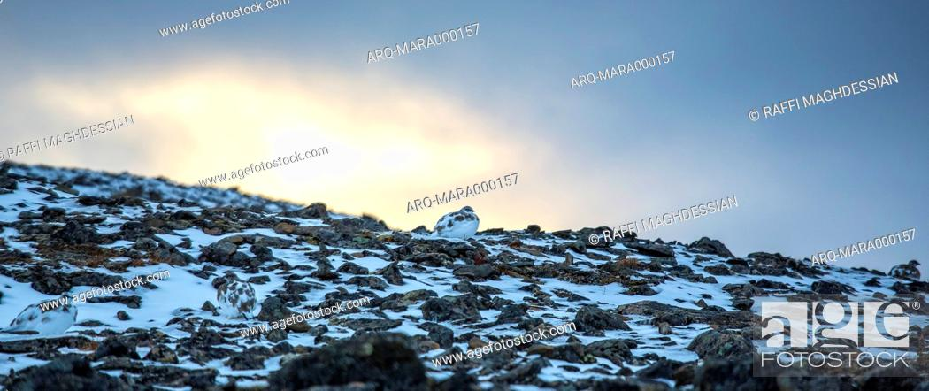 Imagen: Four Ptarmigans On A Rocky Soil In Svalbard During Sunset.