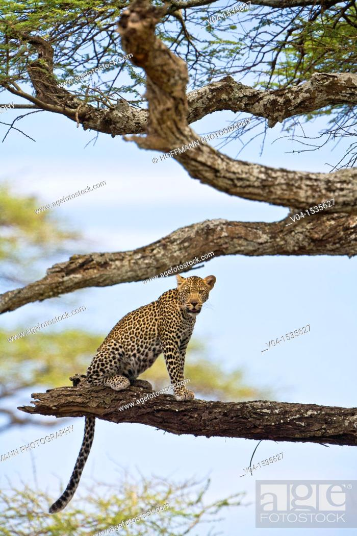 Stock Photo: A leopard (Panthera pardus) sitting on tree in the Serengeti National Park, Tanzania, Africa.