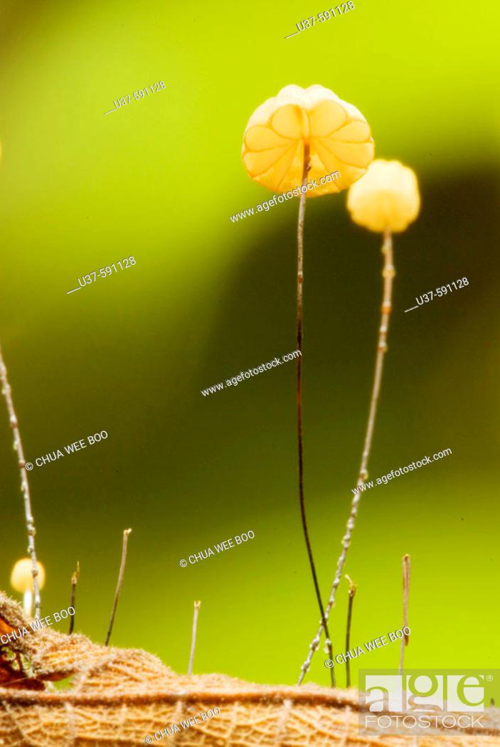 Stock Photo: Tiny mushrooms grow on dead leaf.