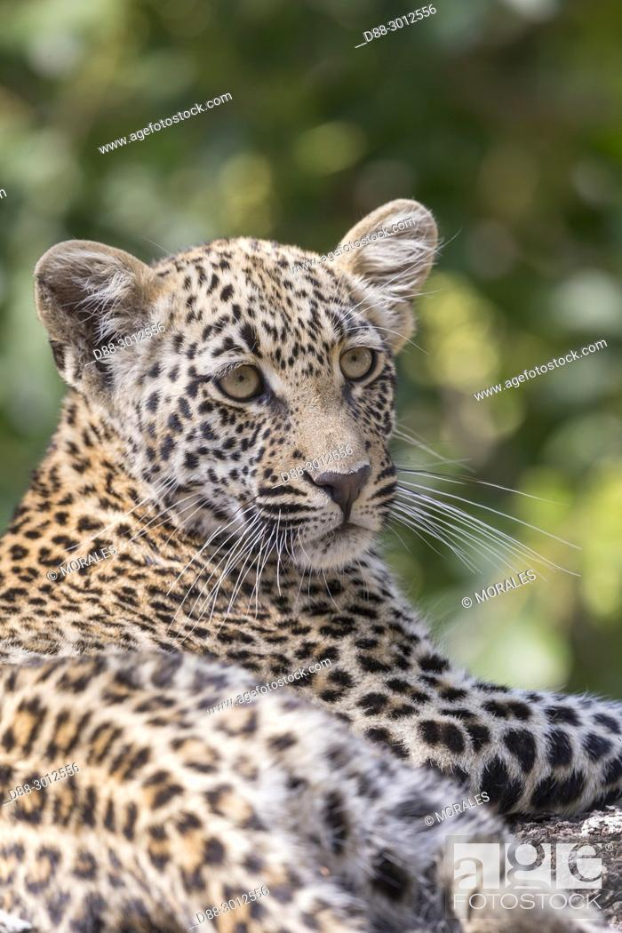 Stock Photo: Africa, Southern Africa, South African Republic, Mala Mala game reserve, savannah, African Leopard (Panthera pardus pardus), young resting.
