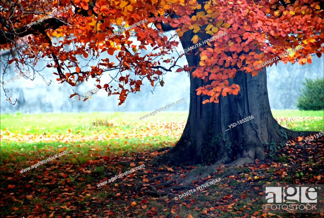 Stock Photo: huge tree with red leaves, autumn scene, Ariana park, Geneva, Switzerland.