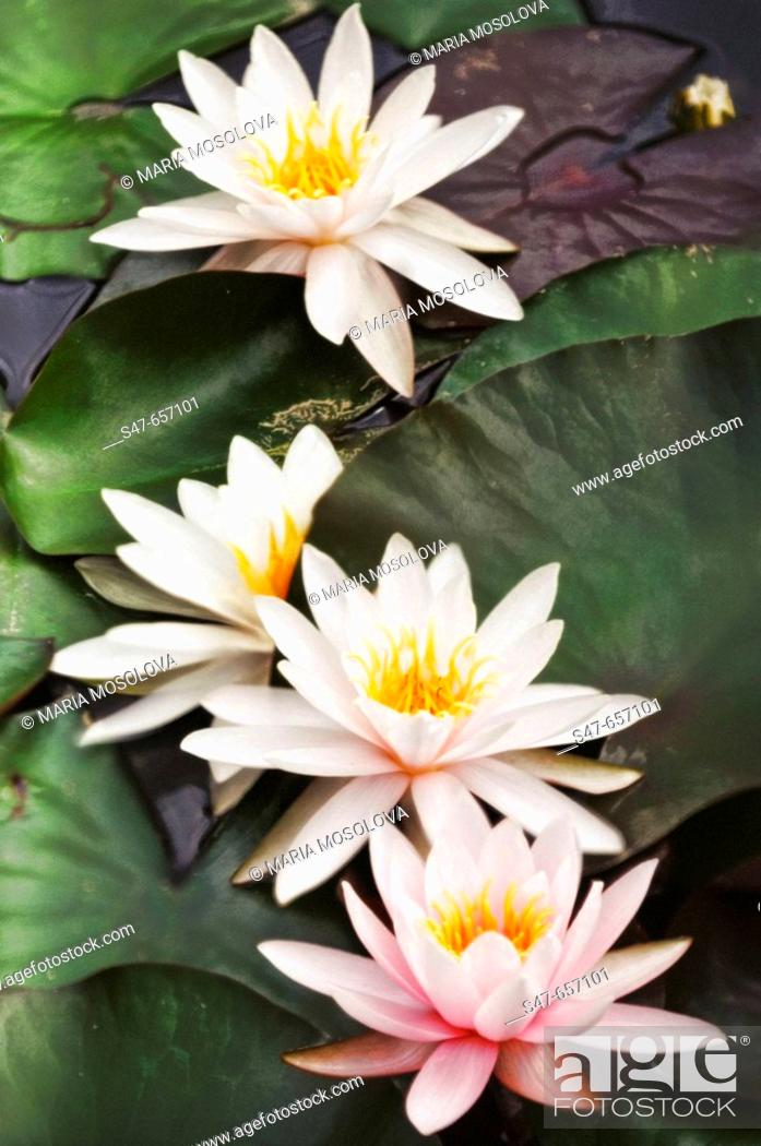 Stock Photo: Waterlilies. Nymphaea hybrid. September 2006. Maryland, USA.