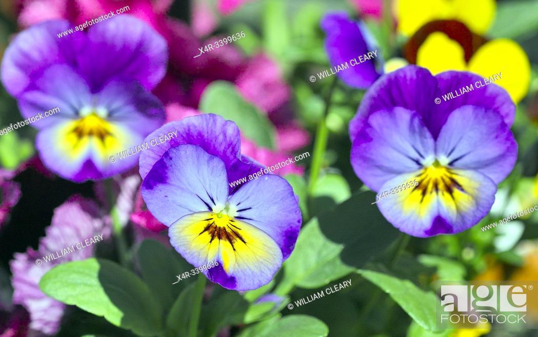 Stock Photo: Violas.