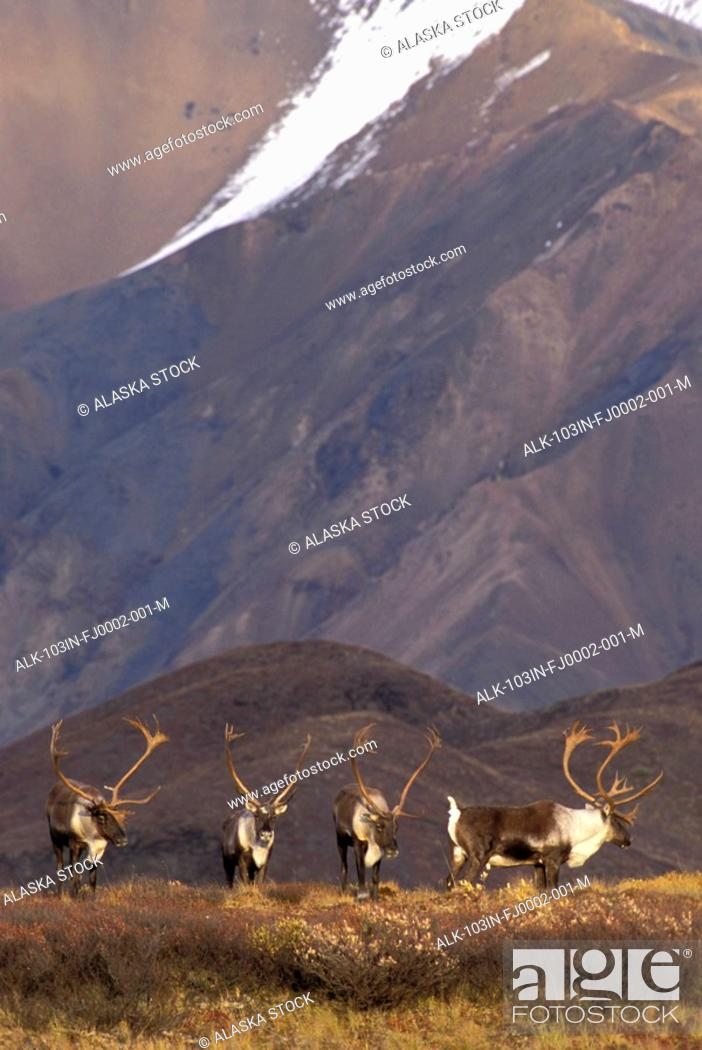 Photo de stock: Caribou Bulls on Ridge Denali NP IN AK Range Fall Alaska.