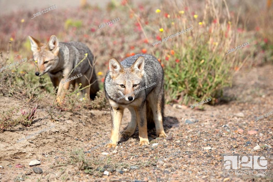 Stock Photo: Argentine grey fox  Dusicyon griseus  family : canidae  order :carnivora.
