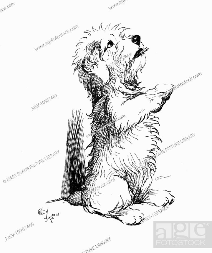 Stock Photo Illustration Of A Sealyham Terrier Called Bunch By Cecil Aldin Seen