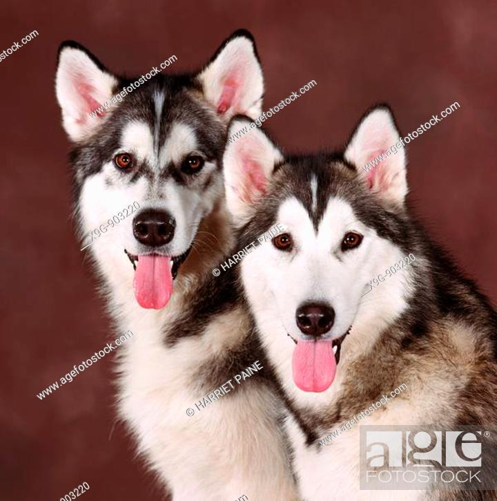 Stock Photo: Siberian Huskies.