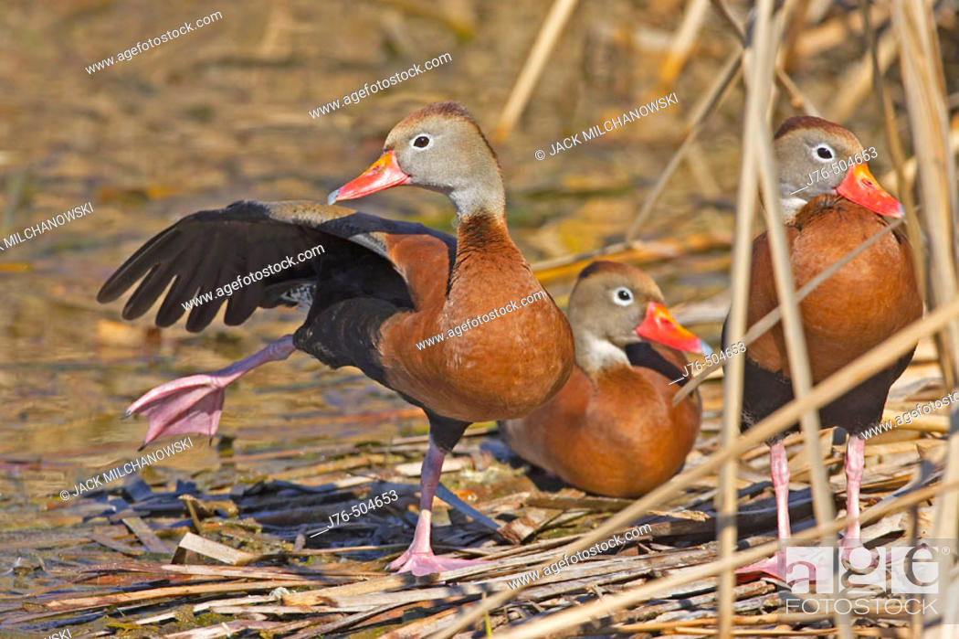 Stock Photo: Black-bellied Whistling-Duck. (Dendrocygna autumnalis).