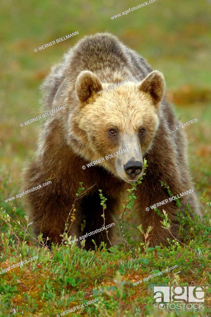 Stock Photo: Brown Bear (Ursus arctos), female. Finland.