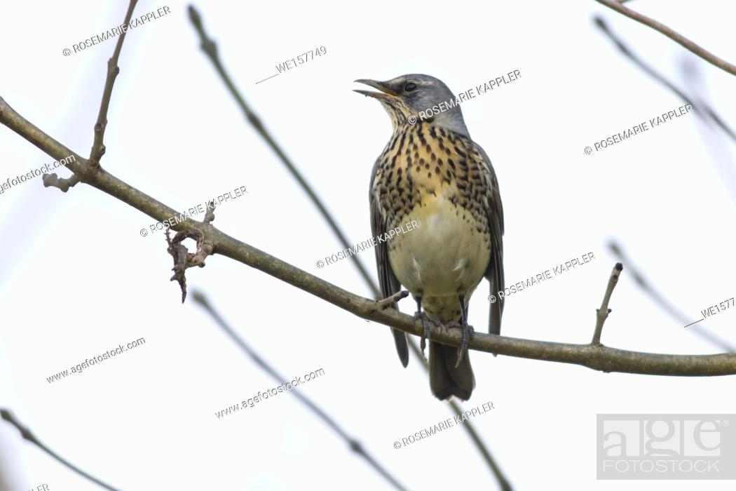 Stock Photo: Germany, Saarland, Bexbach - A fieldfare is sitting on a branch.