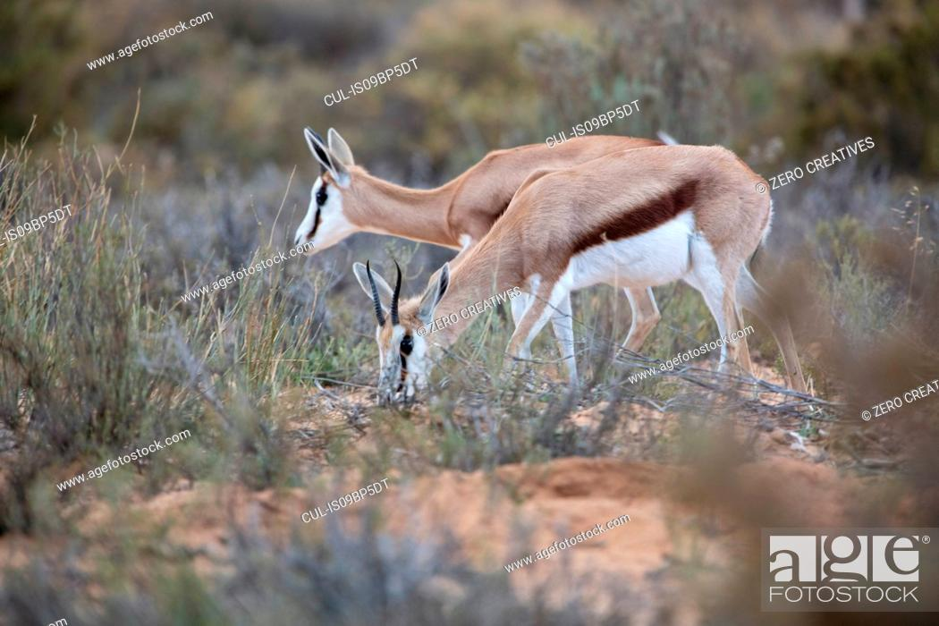 Imagen: Pair of Springboks (Antidorcas marsupialis), Touws River, Western Cape, South Africa.