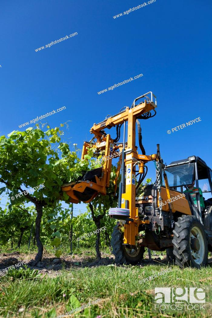 Stock Photo: Low view of tractor raising branches of rows of grape vines with lifting wire.
