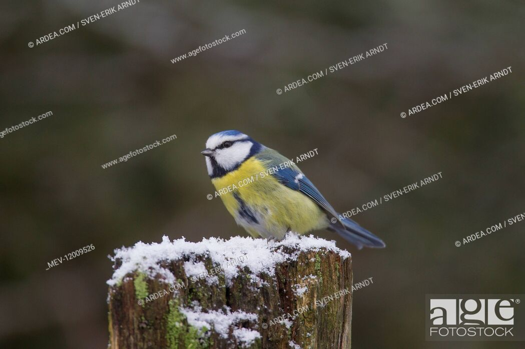 Stock Photo: Blue Tit - adult bird in winter - Germany.