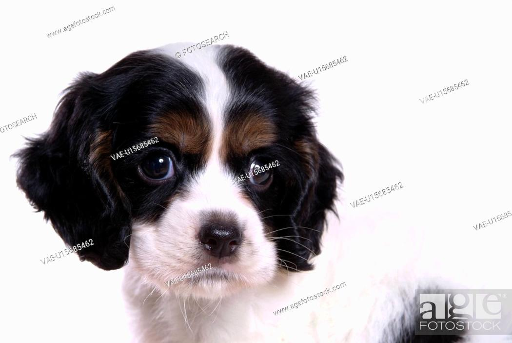 Stock Photo: cute, domestic, loving, puppy, canines, house pet, cocker spaniel.