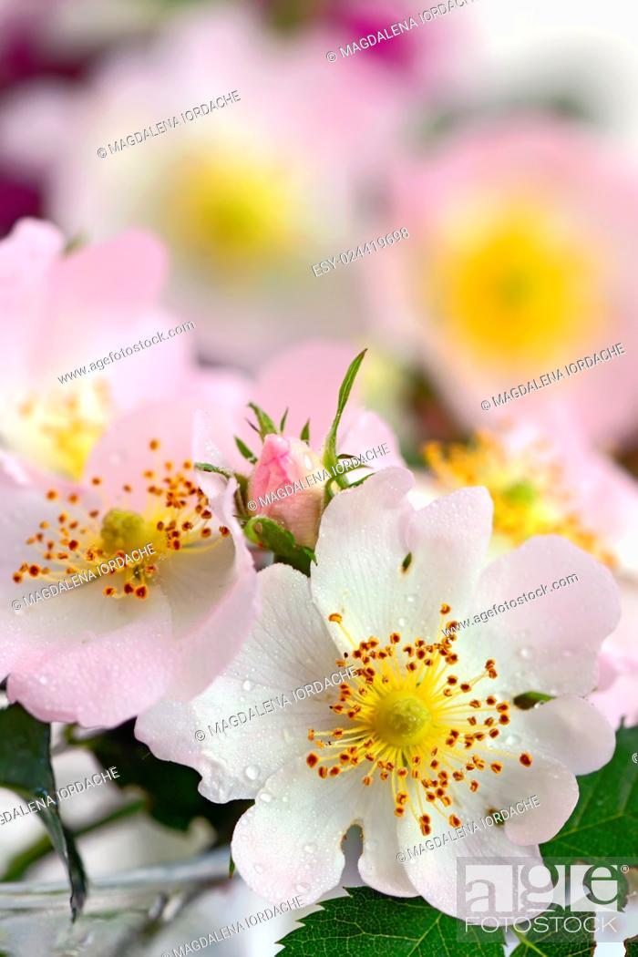 Stock Photo: Close-up of a dog rose, Rosa canina.