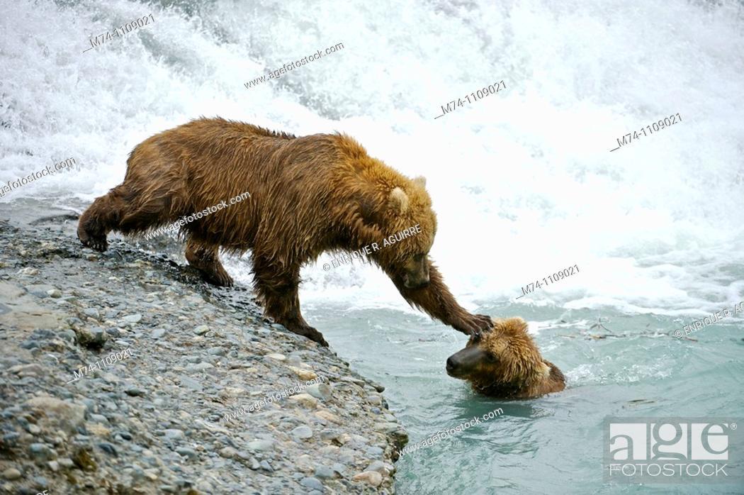 Stock Photo: American Brown bear/Grizzly bear Ursus arctos horribilis, McNeil River Sanctuary, Alaska.