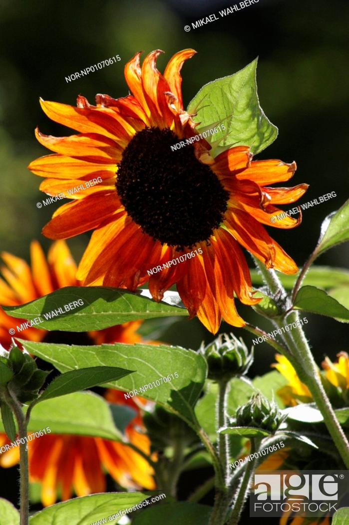 Stock Photo: Close-up of sunflowers Helianthus annuus in a field.