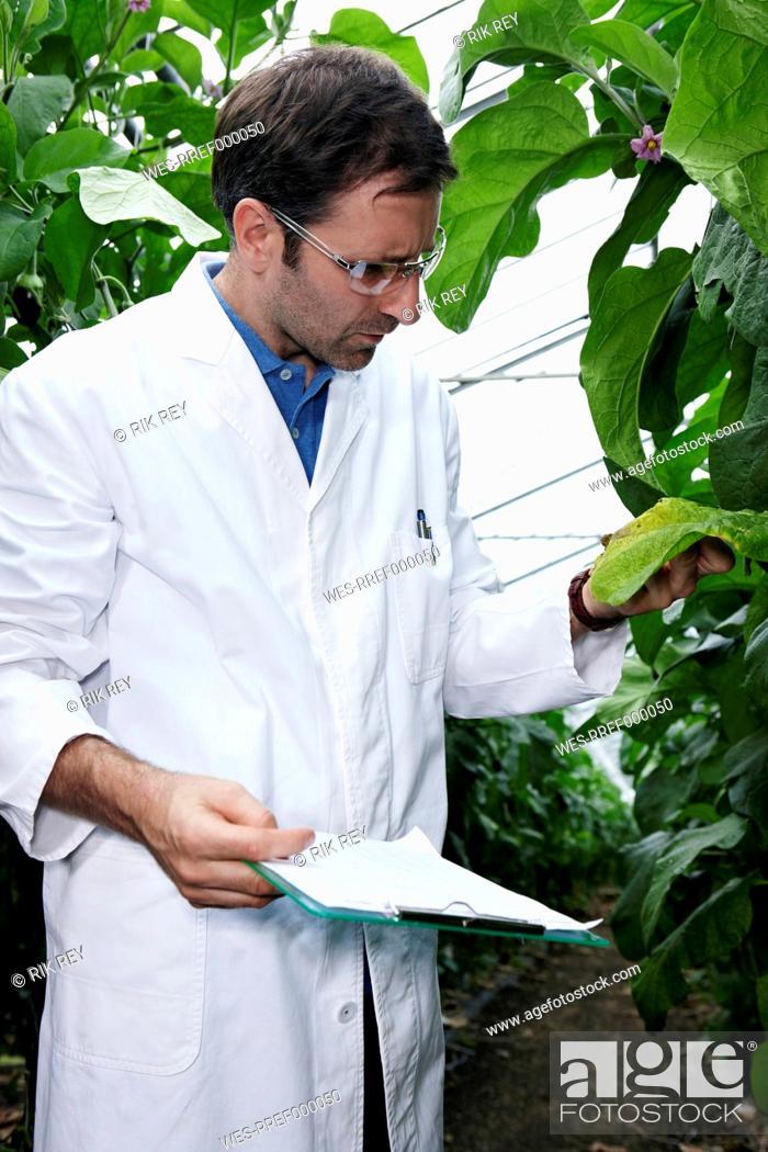 Stock Photo: Germany, Bavaria, Munich, Scientist in greenhouse examining aubergine plants.