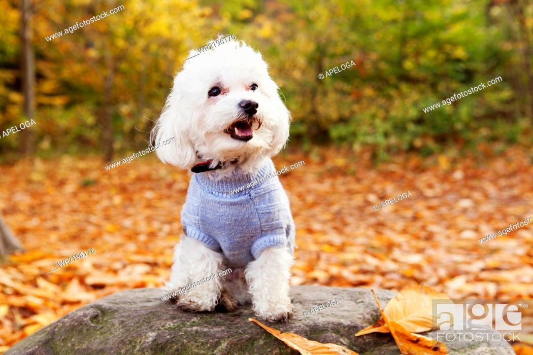 Stock Photo: Close-up of Bichon Frise on rock in forest.