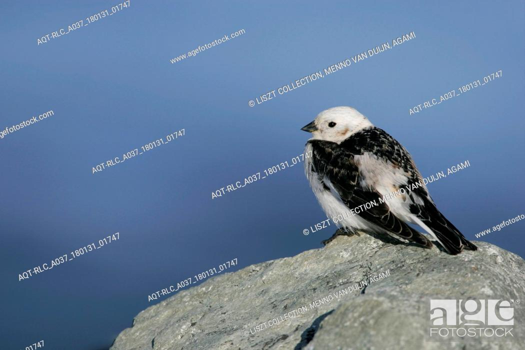 Stock Photo: Snow Bunting male perched on rock, Snow Bunting, Plectrophenax nivalis.