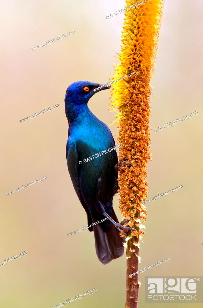 Stock Photo: Cape Glossy Starling (Lamprotornis nitens), eating from the Skirt aloe (Aloe alooides), Kruger National Park, South Africa.