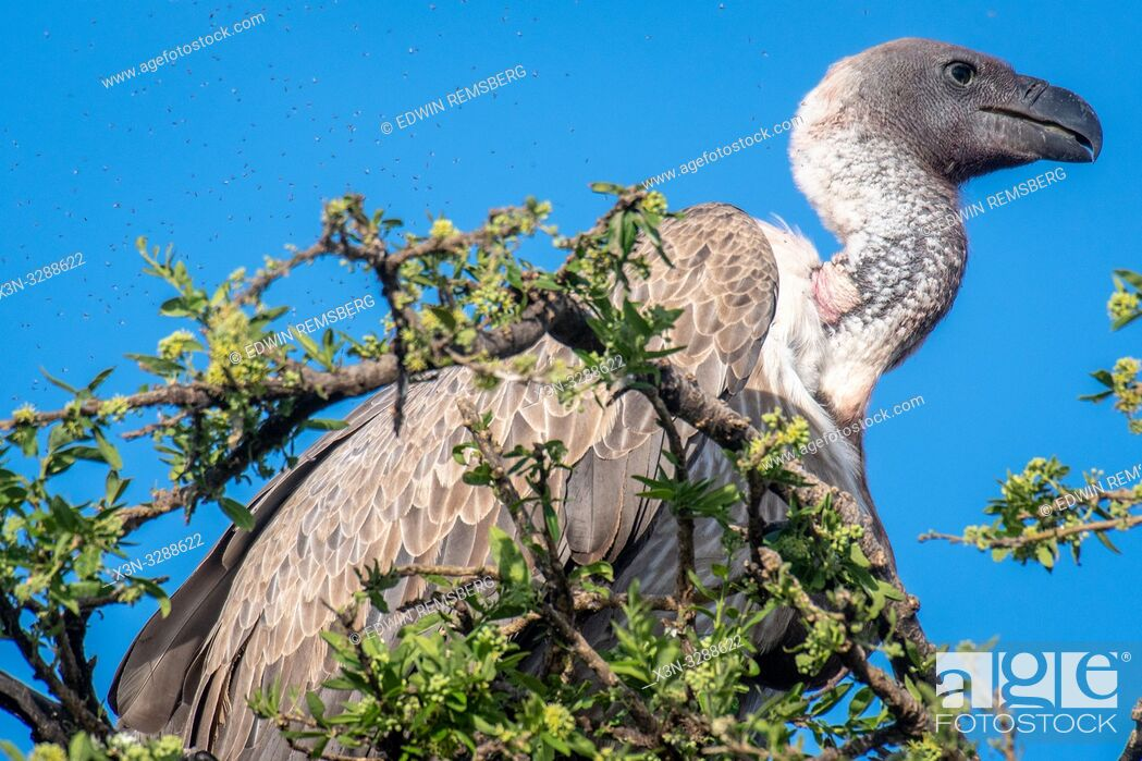 Stock Photo: African white-backed vultures (Gyps africanus) perched atop a tree, Maasai Mara National Reserve, Kenya, Africa.