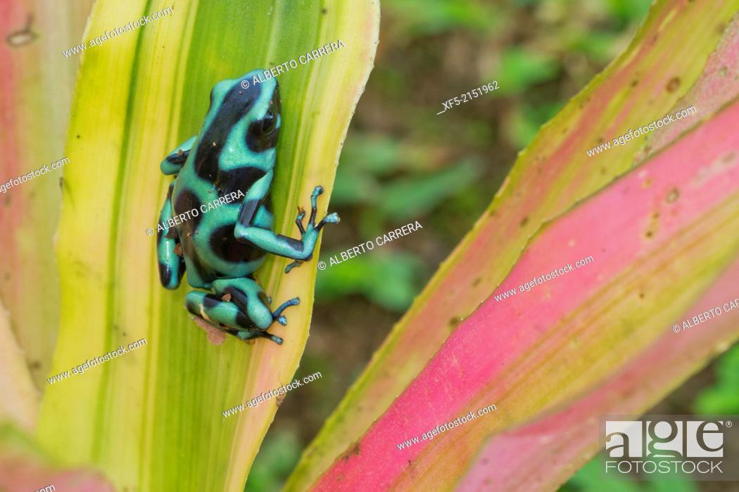 Stock Photo: Green and black poison dart Frog, Dendrobates auratus, Tropical Rainforest, Costa Rica, Central America, America.