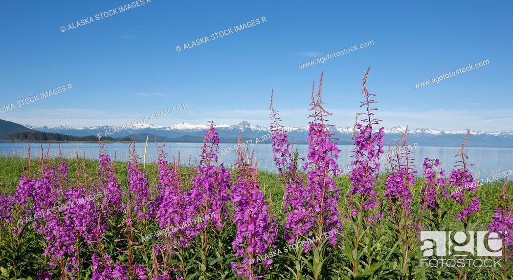 Stock Photo: Fireweed blooms along the shoreline at Eagle Beach near Juneau, Southeast Alaska, Summer.